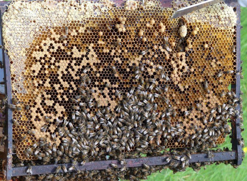 cadre : cellules de miel, couvain d'ouvrières, faux bourdons, reine
