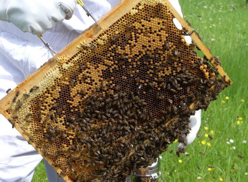couvain au centre, miel et pollen autour