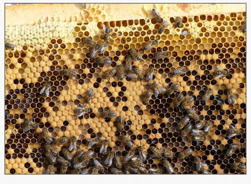 Cellules de couvain et de miel et pollen en haut