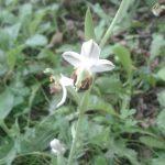 Ophrys abeille de l'AJFCC