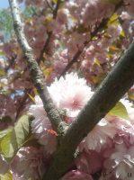 Cerisier-du-Japon