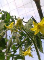 fleurs-de-tomates2