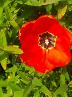 tulipe-rouge