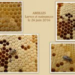 naissance abeille