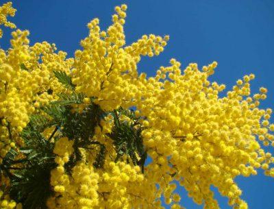 Mimosa en février
