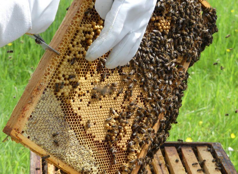 cellules de miel, couvain de faux bourdons et couvain d'ouvrières