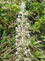 Orchidee-Orchis-bouc3