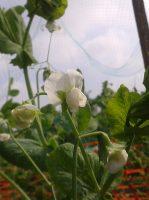 fleurs-de-petits-pois