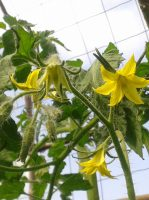 fleurs-de-tomates3