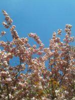 cerisier japonais / prunus AJFCC